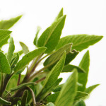 home-remedies-for-whitening-teeth-sage-leaf